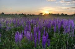 在羽扇豆草甸的日落  归档羽扇豆属 lupinu草甸  免版税库存图片