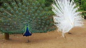 在羽毛的蓝色和白色孔雀 库存照片