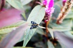 在羽毛cockscombs紫色叶子的飞蛾 免版税图库摄影
