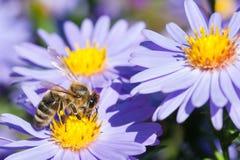 在翠菊花的欧洲蜂蜜蜂 免版税图库摄影