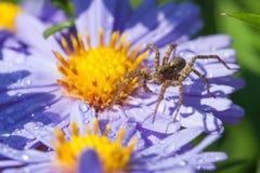 在翠菊花的狼蛛 库存图片