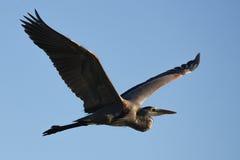 在翼的伟大蓝色的苍鹭的巢 库存照片
