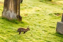 在老哥特式公墓,苏格兰的兔子 免版税图库摄影
