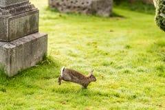 在老哥特式公墓,苏格兰的兔子 免版税库存图片