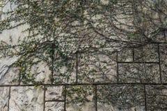 在老城堡墙壁上的藤  库存图片