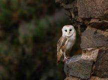 在老城堡废墟的一只谷仓猫头鹰 库存图片