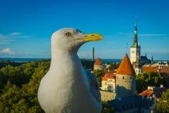 在老城市的背景的海鸥 塔林 免版税库存图片