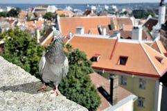 在老城市背景的纵向鸽子 免版税图库摄影