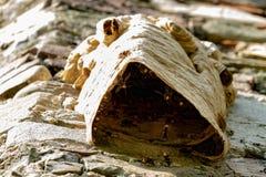 在老墙壁上的大黄蜂巢 免版税库存照片