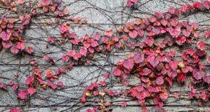 在老墙壁上的秋天植物 免版税库存图片