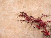在老墙壁上的红色常春藤 免版税库存照片