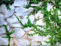 在老墙壁上的绿色爬行物厂 图库摄影