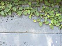 在老墙壁上的绿色爬行物厂 免版税库存图片