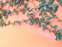 在老墙壁上的绿色爬行物厂 库存图片