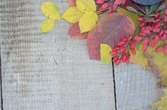 在老委员会五颜六色的秋叶和莓果野玫瑰果和伏牛花 免版税库存照片