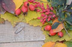 在老委员会五颜六色的秋叶和莓果野玫瑰果和伏牛花 免版税图库摄影