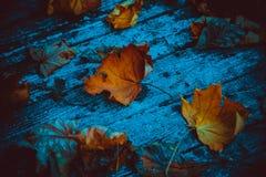 在老委员会的槭树叶子 库存照片
