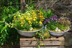 在老容器的几棵多年生植物植物pottet 库存图片