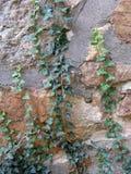 在老岩石墙壁上的上升的常春藤 图库摄影