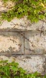在老房子墙壁上的绿色爬行物植物 免版税库存图片