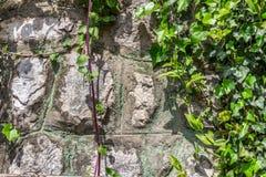 在老房子墙壁上的绿色爬行物植物 库存照片