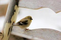 在老摇椅的金翅雀有斯诺伊背景 免版税图库摄影