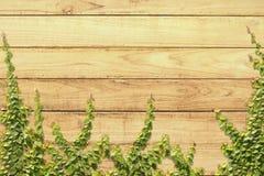 在木墙壁上的上升的榕属pumila 免版税库存照片