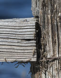 在老木岗位水背景的蜻蜓Exuviae 免版税库存照片