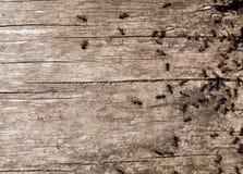 在老木材的蚂蚁 免版税库存照片