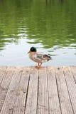 在老木码头的两只野鸭鸭子在夏时 免版税图库摄影
