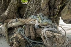 在老木遗骸被包裹的香蕉绳索 库存照片