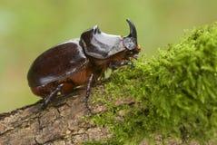 在老木头和绿色青苔的犀牛甲虫 免版税图库摄影
