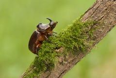 在老木头和绿色青苔的犀牛甲虫 库存照片