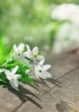 在老木头的白色春天花 免版税库存图片