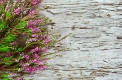 在老木头的石南花 免版税库存照片