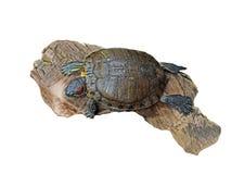 在老木头,裁减路线的红色有耳的滑子乌龟 免版税图库摄影