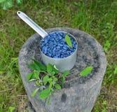在老杓子的Honeyberry在庭院里 库存图片