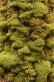 在老树干特写镜头的鲜绿色的青苔 图库摄影