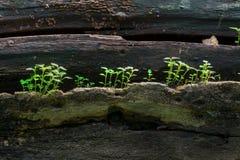在老树干的新的植物生长 库存图片
