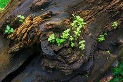 在老树干的新的植物生长 免版税库存图片