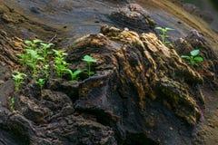 在老树干的新的植物生长 免版税图库摄影
