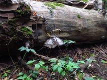 在老树干的白色蘑菇与绿色青苔在森林里 库存图片