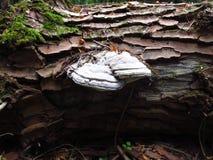 在老树干的白色蘑菇和绿色青苔 库存图片