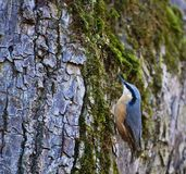 在老树干的逗人喜爱的木五子雀鸟 库存图片