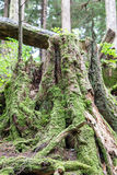 在老树干的青苔 免版税图库摄影