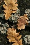在老树桩的三片秋天橡木叶子与青苔 库存照片