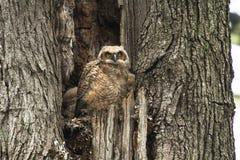 在老树的婴孩伟大的有角的猫头鹰之子 免版税图库摄影