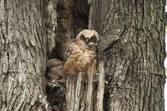 年轻在老树的婴孩伟大的有角的猫头鹰之子 免版税库存图片