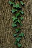 在老树皮的绿色常春藤 免版税图库摄影