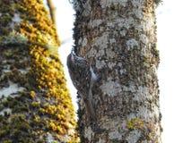 在老树词根,立陶宛的小的鸟 图库摄影